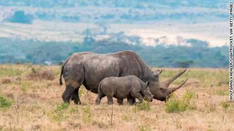 Scientists say black rhinos will be among the large species that will eventually go extinct.