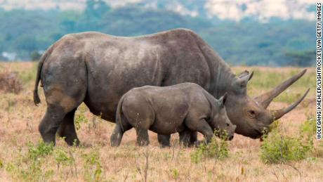 KENYA - 2018/08/19: An endangered black rhinoceros or hook-lipped rhinoceros (Diceros bicornis) female and baby at the Lewa Wildlife Conservancy in Kenya. (Photo by Wolfgang Kaehler/LightRocket via Getty Images)