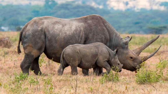 KENYA - 2018/08/19: An endangered black rhinoceros or hook-lipped rhinoceros (Diceros bicornis) female and baby at the Lewa Wildlife Conservancy in Kenya. (Photo by Wolfgang Kaehler/LightRocket via Getty Images)