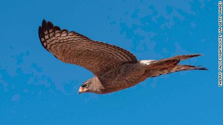 Tawny eagles will die out and smaller birds will thrive, say researchers
