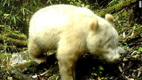 A panda with albinism in Wolong National Nature Reserve.