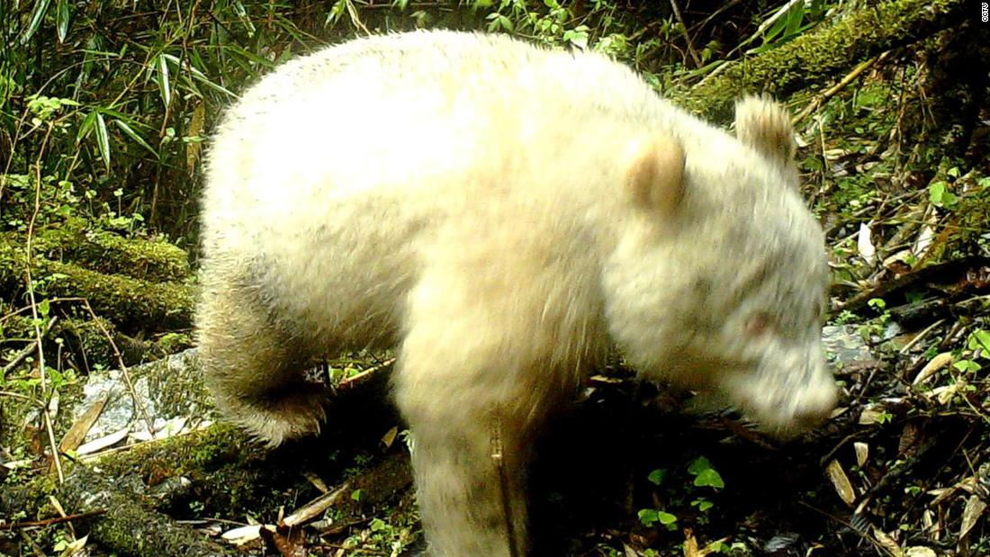 First fully albino giant panda filmed in Chinese forest