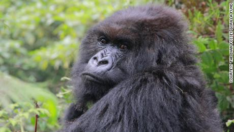 "Poppy, pictured here in August 2015, was the last living mountain gorilla made famous by Dian Fossey in ""Gorillas in the Mist."""
