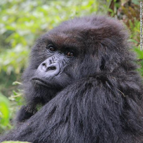 Poppy pictured here in August 2015 was the last living mountain gorilla made famous by Dian Fossey in Gorillas in the Mist. Copyright Dian Fossey Gorilla Fund International