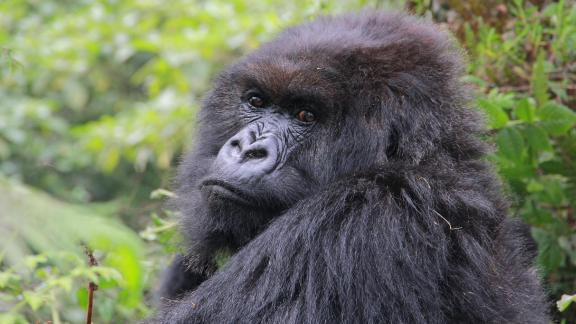 Poppy pictured here in August 2015 was the last living mountain gorilla studied by famed zoologist Dian Fossey.