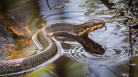 Cottonmouth snakes, like the one pictured here, have been found in floodwater in Tulsa, Oklahoma.