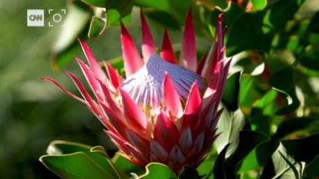 What Makes The Protea The Most Sought After Flower