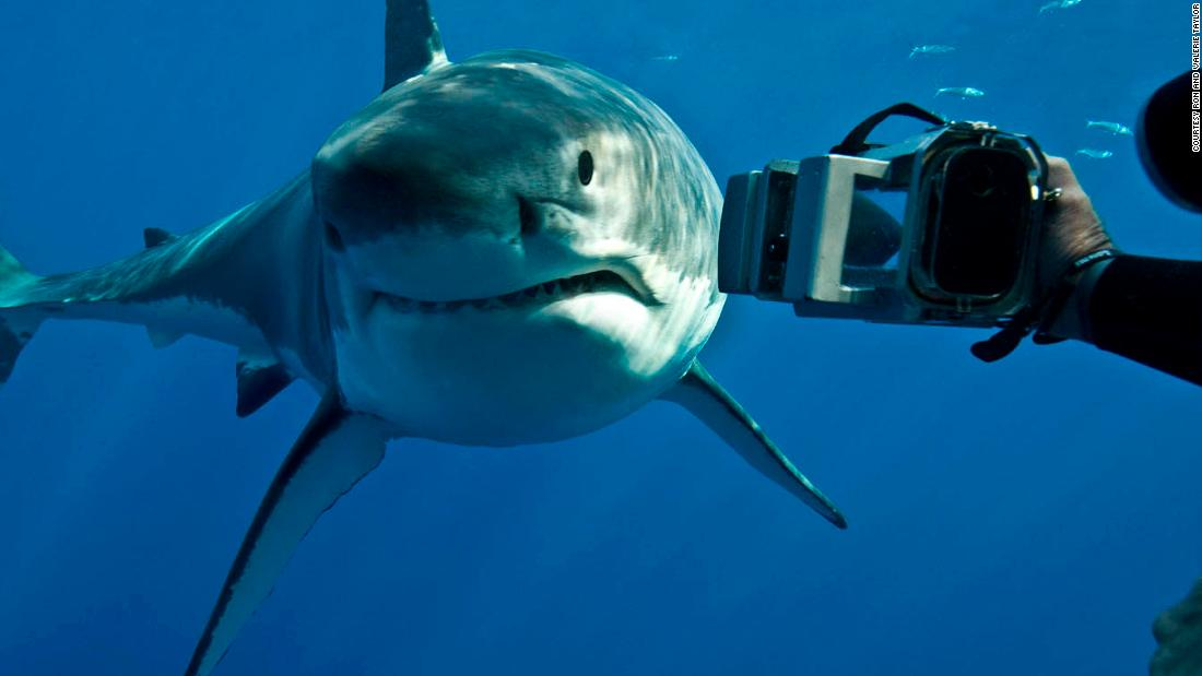 "Ron Taylor filming a great white shark. In the early 1970s, Ron and Valerie produced the television series ""Taylor's Inner Space."" This series of 13 films, featured the Taylors' encounters with the marine life of the western Pacific."