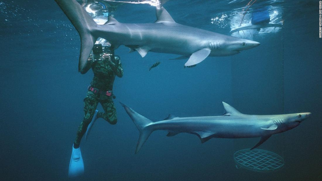 Ron Taylor filming blue sharks off the coast of Albany, Western Australia.