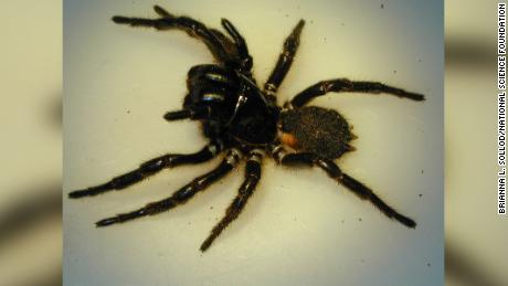 The fungus was enhanced by a toxic found in the venom of funnel-web spiders.