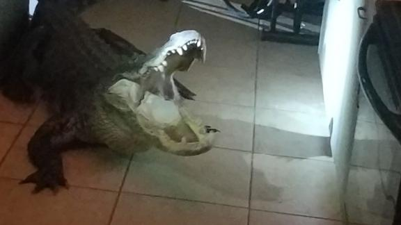The 11-foot male gator broke into the Florida home around 3:30 a.m.