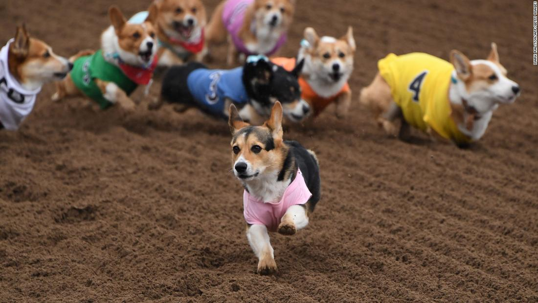 "Corgis race during the Southern California ""Corgi Nationals"" championship at the Santa Anita Horse Racetrack in Arcadia, California, on Sunday, May 26."