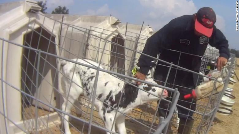 Disturbing video taken of calf abuse at Fair Oaks Farms