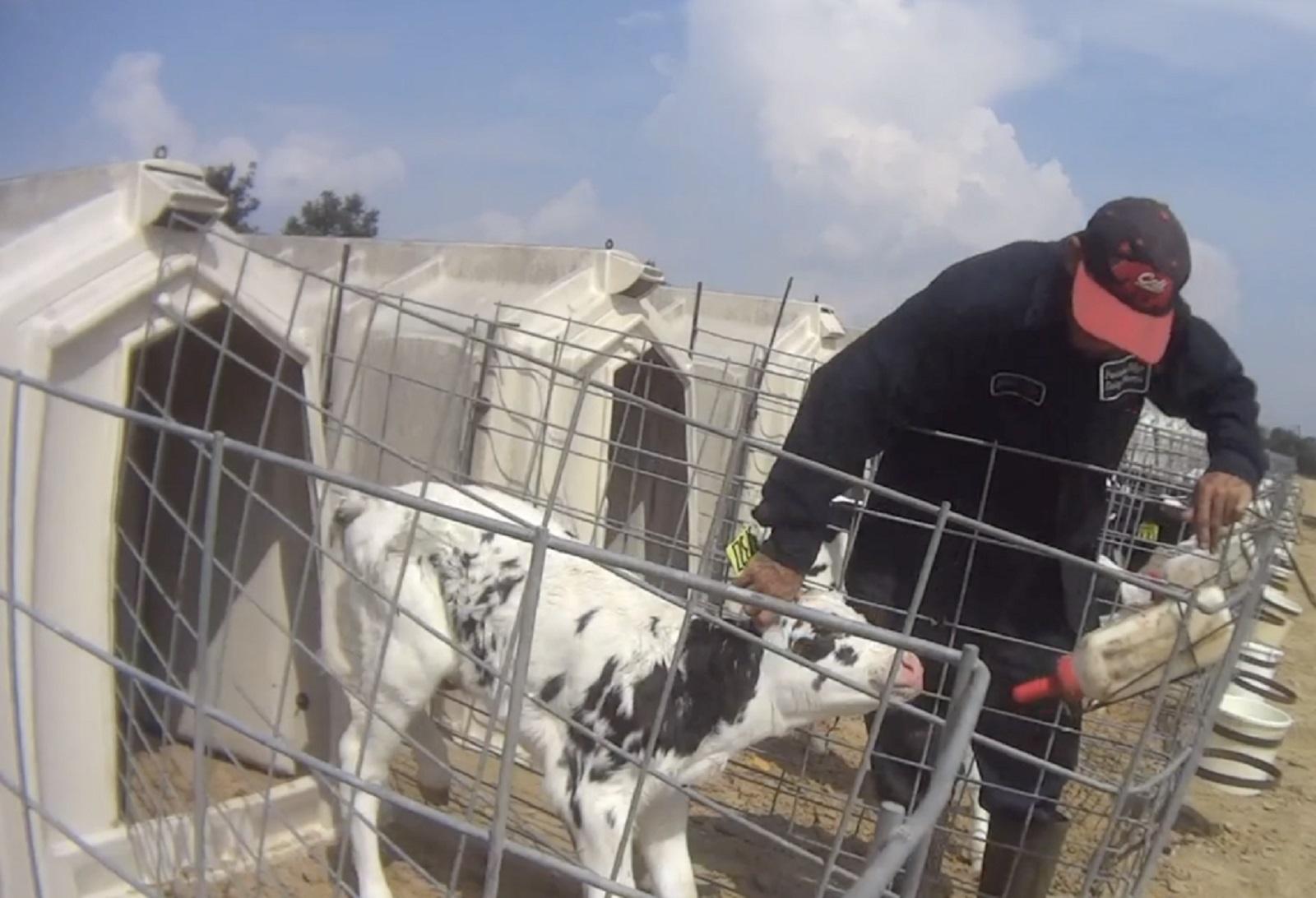 Disturbing video taken of calf abuse at Fair Oaks Farms