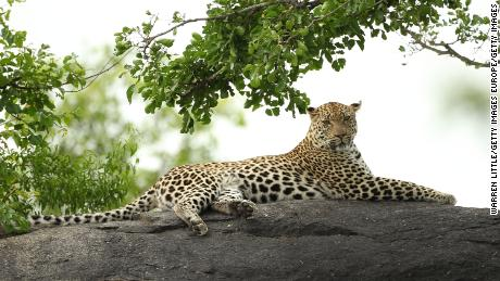 A leopard is pictured on a rock in the Kruger National Park in South Africa. (File photo)