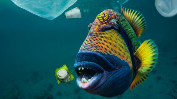 Titan triggerfish, Balistoides viridescens, eating plastic trash. A lot of sea animals ingest plastic garbage because they think it