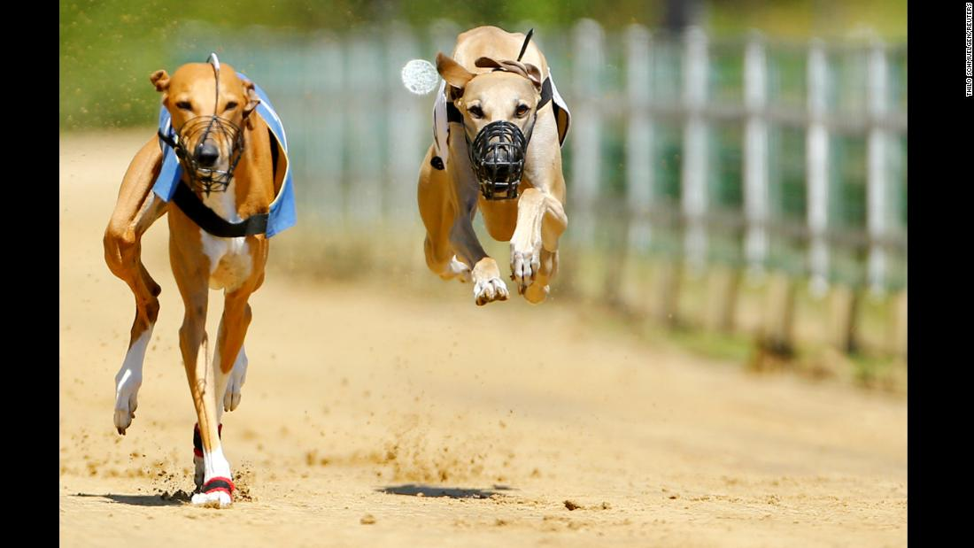 Greyhounds compete during an annual international dog race in Gelsenkirchen, Germany, June 9, 2019.