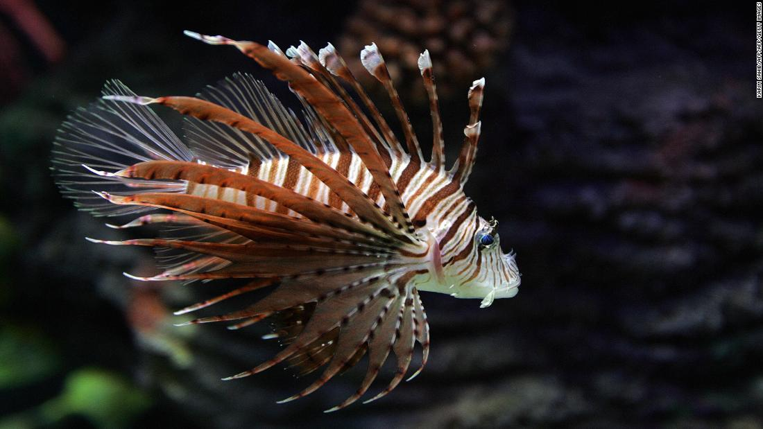 Invasive species: Over the past 25 years, lionfish have colonized Atlantic coastal regions, from their native Indo-Pacific waters. It's thought they were released into the Atlantic by owners who no longer wanted them as aquarium pets.<br /><br />With fewer natural predators, the species' new Atlantic populations are growing rapidly. They can eat and out-compete native coral reef creatures. Aquarium releases, aquaculture and fishing boats can all unwittingly introduce invasive species to delicate coral environments.