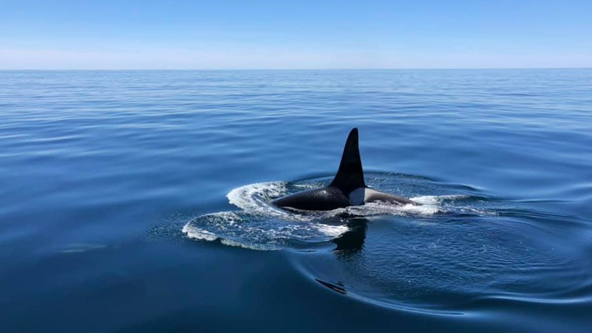 d0d0c61e011 Rare killer whale spotted swimming with dolphins - CNN Video