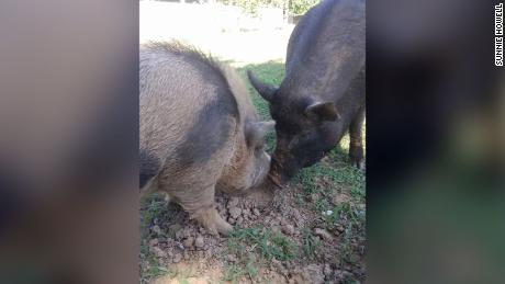 Sunnie Howell came home to find two of her emotional support pigs badly beaten and killed. (Courtesy Sunnie Howell)