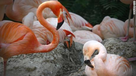 Denver Zoo shares the story of same-sex flamingo couple Lance Bass and Freddie Mercury