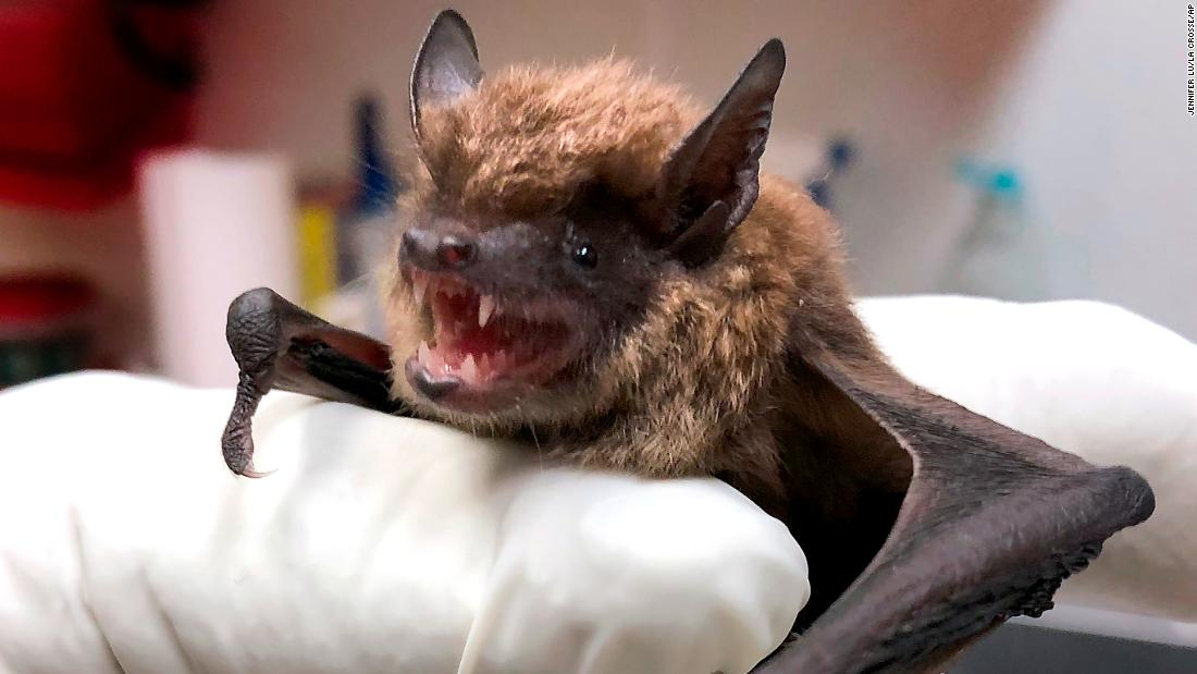 Most rabies infections in the United States come from bats ...