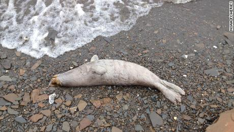 A hunter from Kotlik counted 18 dead seals along 11 miles of shore, north of Kotlik.