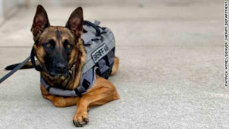 Karma is a 2-year-old Belgian Malinois who works for the Denver Sheriff Department.