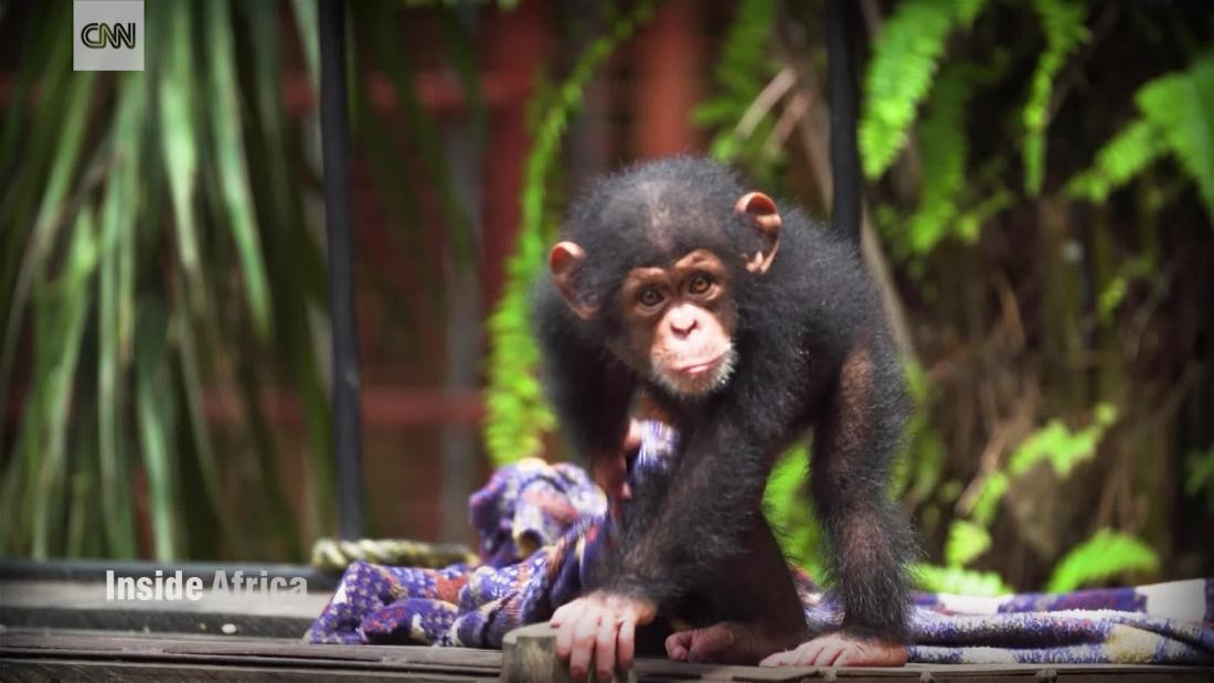 What began as a love story lead to Liberia's first chimpanzee sanctuary