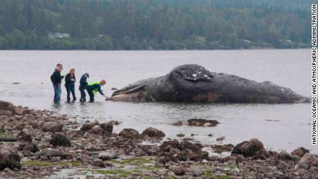 A dead 40-foot gray whale drifted ashore last month north of Port Ludlow, Washington.