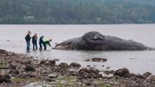 Washington state waterfront landowners receive an unusual request: to welcome dead whales