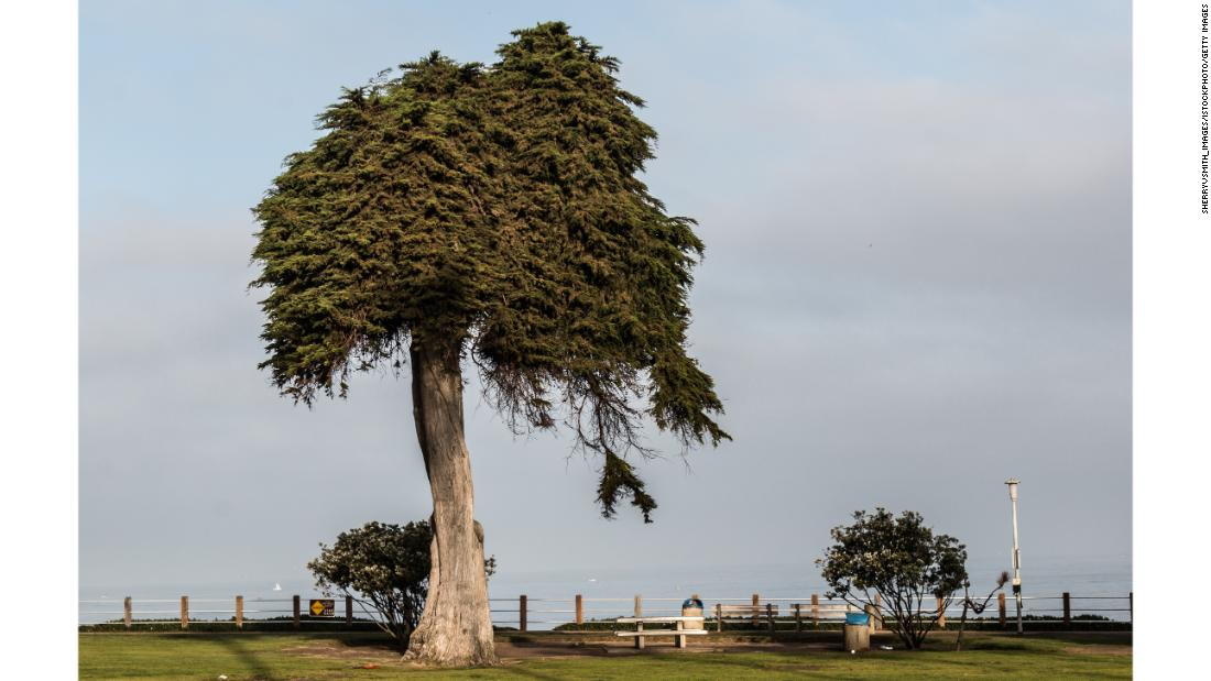 The tree thought to have inspired Dr. Seuss' 'The Lorax' has fallen