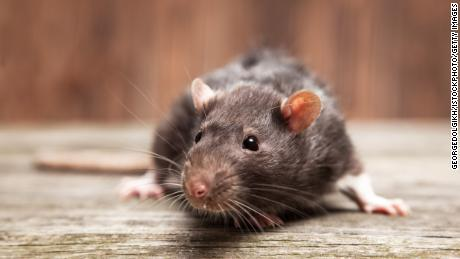 A file image of a rat. The rodent species has infested a New Zealand town.
