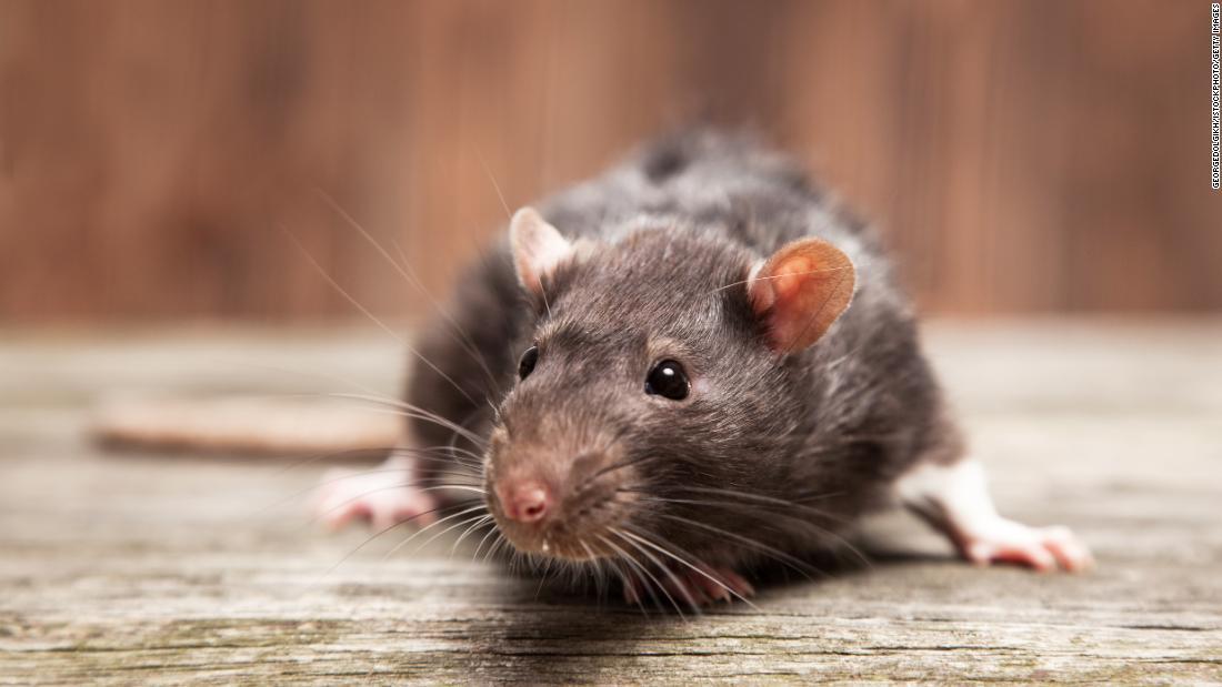 Rat infestation plagues New Zealand town