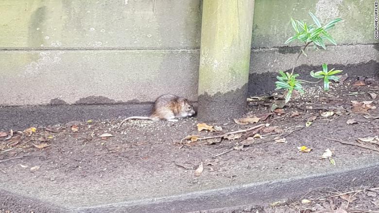 A rat in Titirangi
