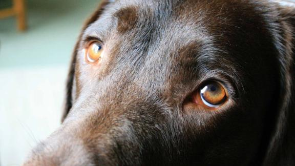 Researchers at the University of Portsmouth have authored a study on how dogs' eyes have evolved so that they will appeal to humans.
