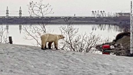A polar bear has been seen near Norilsk in Russia's Krasnoyarsk region, said the city's civil defense and emergency management department, according to the Russian state-owned agency TASS.