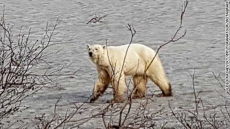 Un orso polare affamato è stato avvistato vagando per la città russa a centinaia di miglia da casa