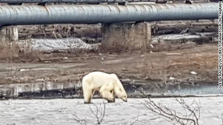 A polar bear has been seen near Norilsk in Russia's Krasnoyarsk region, the city & # 39; s; s Civil Defense and Emergency Management Department said according to the Russian state news agency TASS.