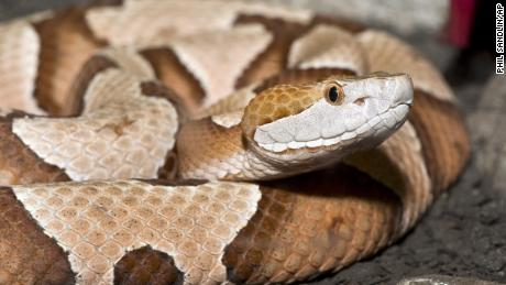 Copperhead snakes are venomous and live throughout the Eastern and central United States.