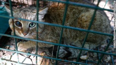 "A picture taken on June 12, 2019 in Asco on the French Mediterranean island of Corsica shows a ""ghjattu-volpe"" (fox-cat) Felis Silvestris. - The Corsican fix-cat is a new specie of feline according to the ONCFS. (Photo by PASCAL POCHARD-CASABIANCA / AFP)        (Photo credit should read PASCAL POCHARD-CASABIANCA/AFP/Getty Images)"