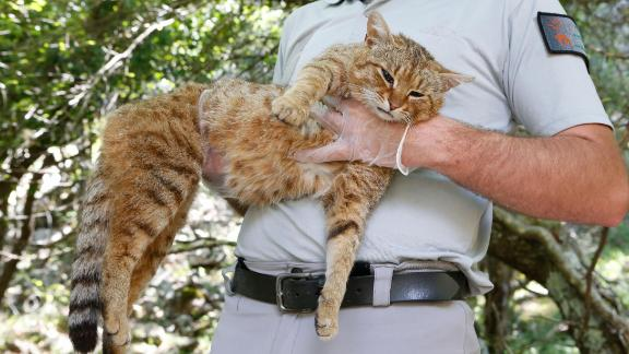 """An employee of the French Forest and Hunting Office (Office Nationale des Forets et de la Chasse) Charles-Antoine Cecchini holds a """"ghjattu-volpe"""" (fox-cat) Felis Silvestris on June 12, 2019 in Asco on the French Mediterranean island of Corsica. - The Corsican fix-cat is a new specie of feline according to the ONCFS. (Photo by PASCAL POCHARD-CASABIANCA / AFP)        (Photo credit should read PASCAL POCHARD-CASABIANCA/AFP/Getty Images)"""