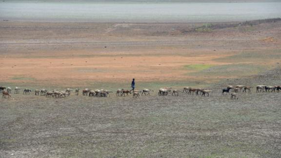 An Indian shepherd walks with their lifestock at the dried out Puzhal reservoir on the outskirts of Chennai.