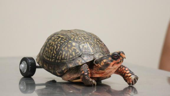 La tortuga, la tortuga! Ya no puede caminar. Porque no tiene, porque le faltan...las dos patitas de atrás!