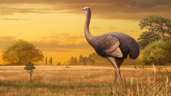 The recently discovered fossilized femur of an ancient giant bird revealed that it weighed nearly as much as an adult polar bear and could reach 11½ feet tall. It lived between 1.5 million and 2 million years ago.