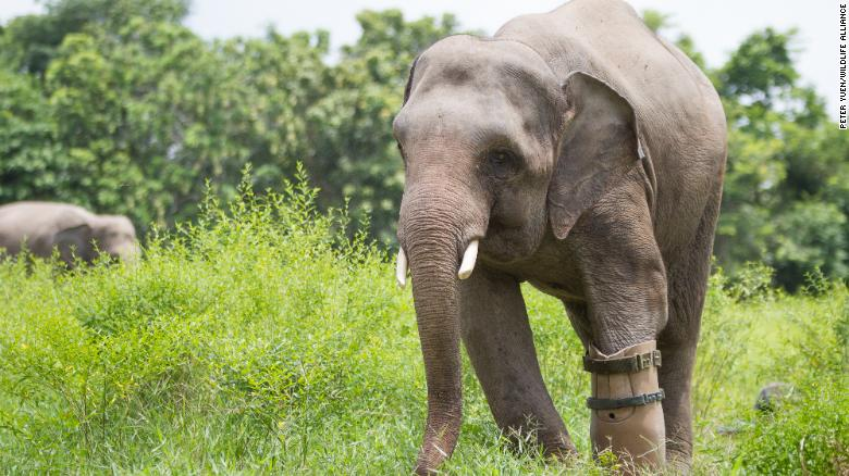 Chhouk, a male elephant, was found as a baby wandering alone in the forest in northeastern Cambodia. He had lost a foot to a poacher's snare and was close to death. Wildlife Alliance took him to Phnom Tamao Wildlife Rescue Centre where he was given a prosthetic foot and has been cared for ever since.