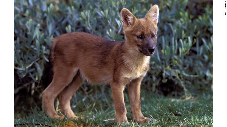This dhole pup was born in San Diego Zoo's Wild Animal Park. Its counterparts in the wild are being killed by snares.