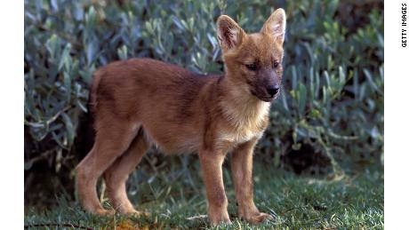 A dhole pup, born in San Diego Zoo's Wild Animal Park.