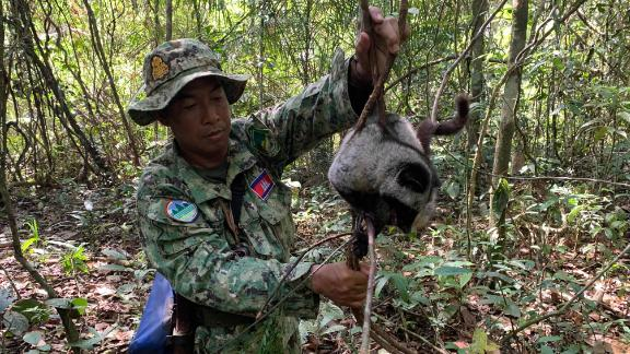 A Wildlife Alliance ranger rescues a common palm civet in Cambodia's Cardamom Rainforest. Civets are often found dead in snares, but this one survived the ordeal.
