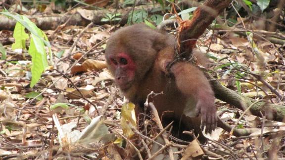 Found with its arm caught in a snare by researchers from the Laos conservation group Anoulak, this stump-tailed macaque was released back into the wild.